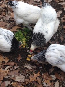 chickens feast