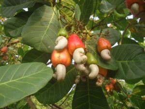cashew apple with nuts