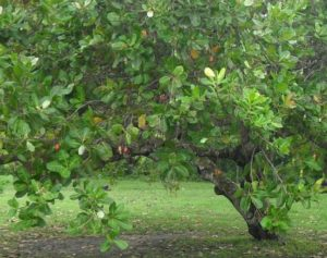 how to harvest cashews